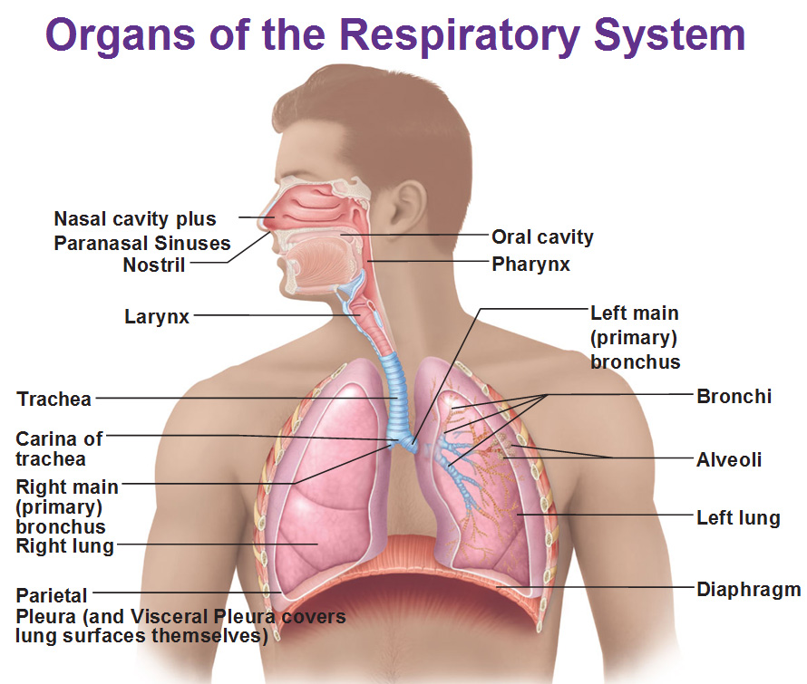 Respiratory And Circulatory Systems Paolo Escuderos Blog